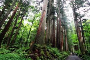 戸隠億社参道の杉並木